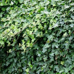 Ivy Hedera helix/Lierre sauvage