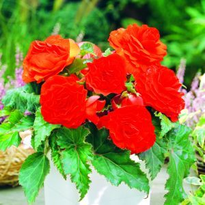 Begonia Non Stop rouge 3/4 x 3