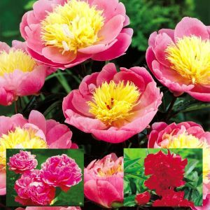 Paeonia Coll. Bowl of Beauty/Edulis/Double Red (3x1)