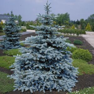 Picea pungens Hopsii