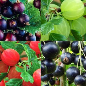 Ribes Collection